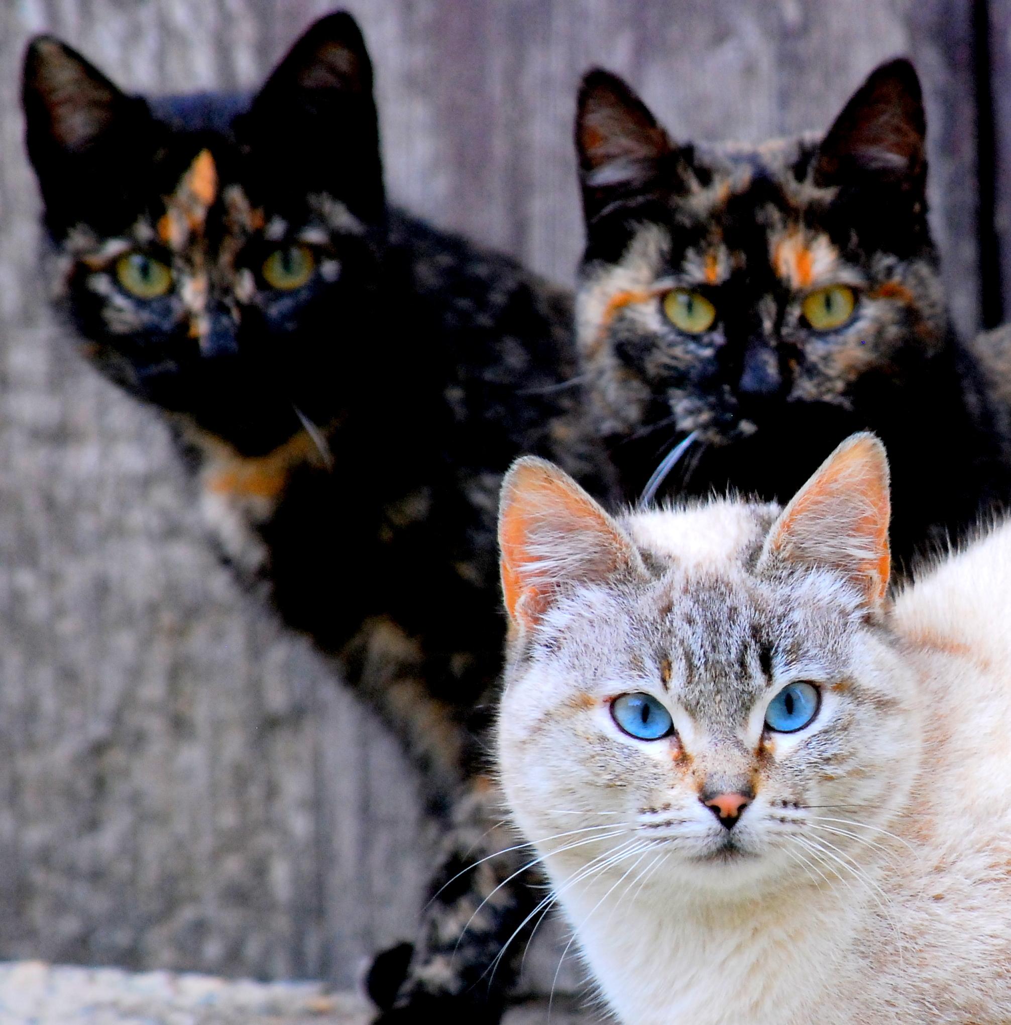 Should Cats With Diabetes Eat A D Hills Cat Food