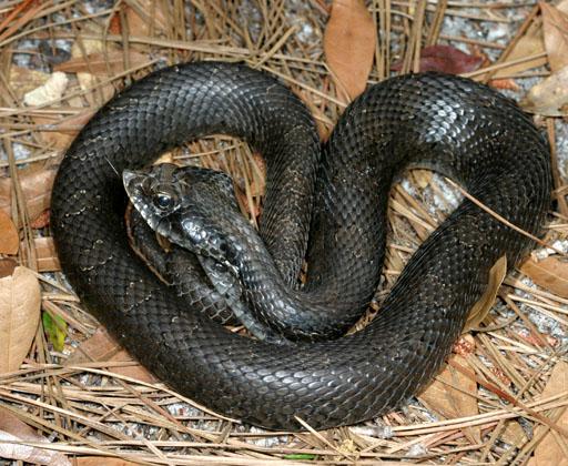 Eastern Hognos Snake