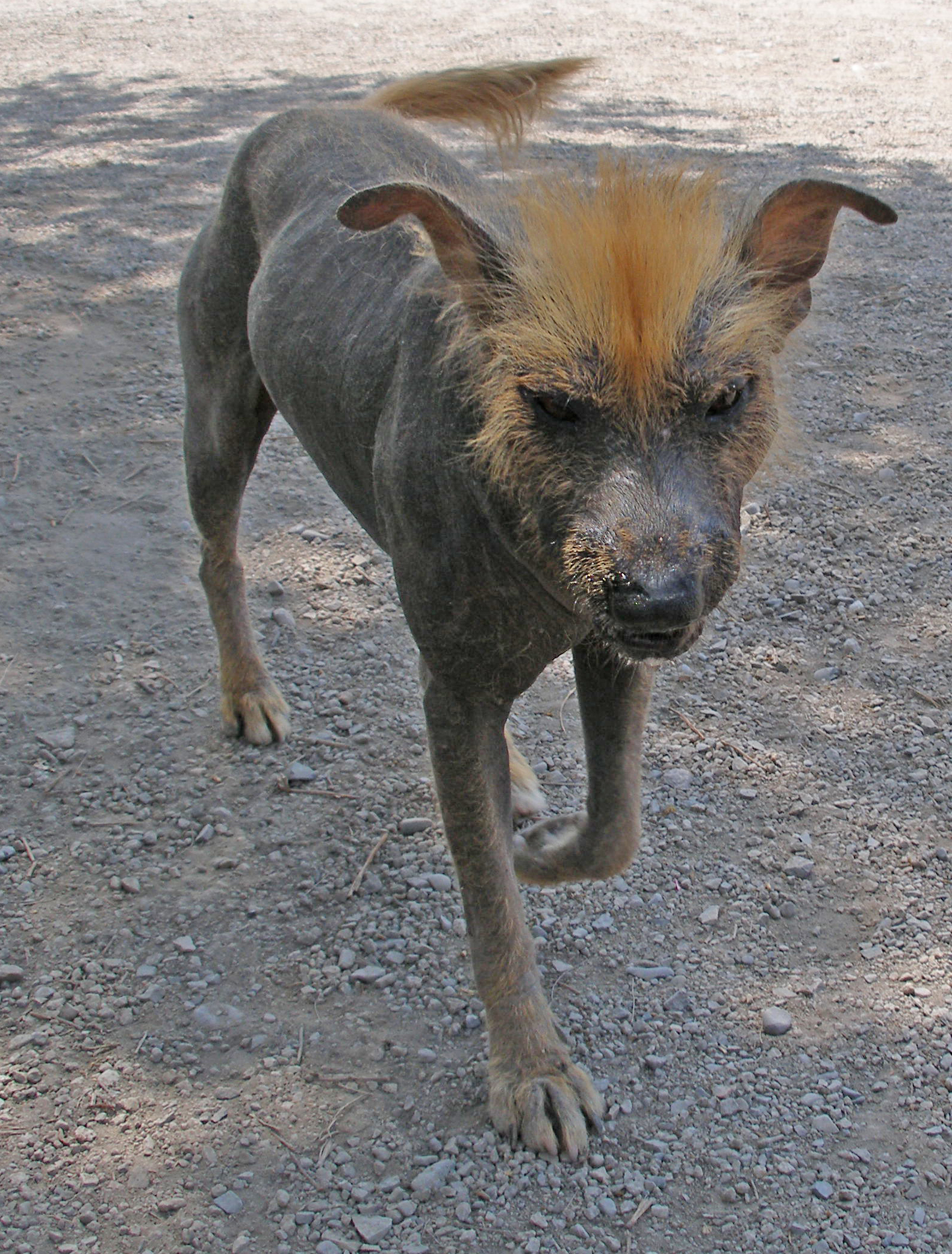 ... sale reputable find american hairless terrier puppies for sale with Xoloitzcuintli On Sale