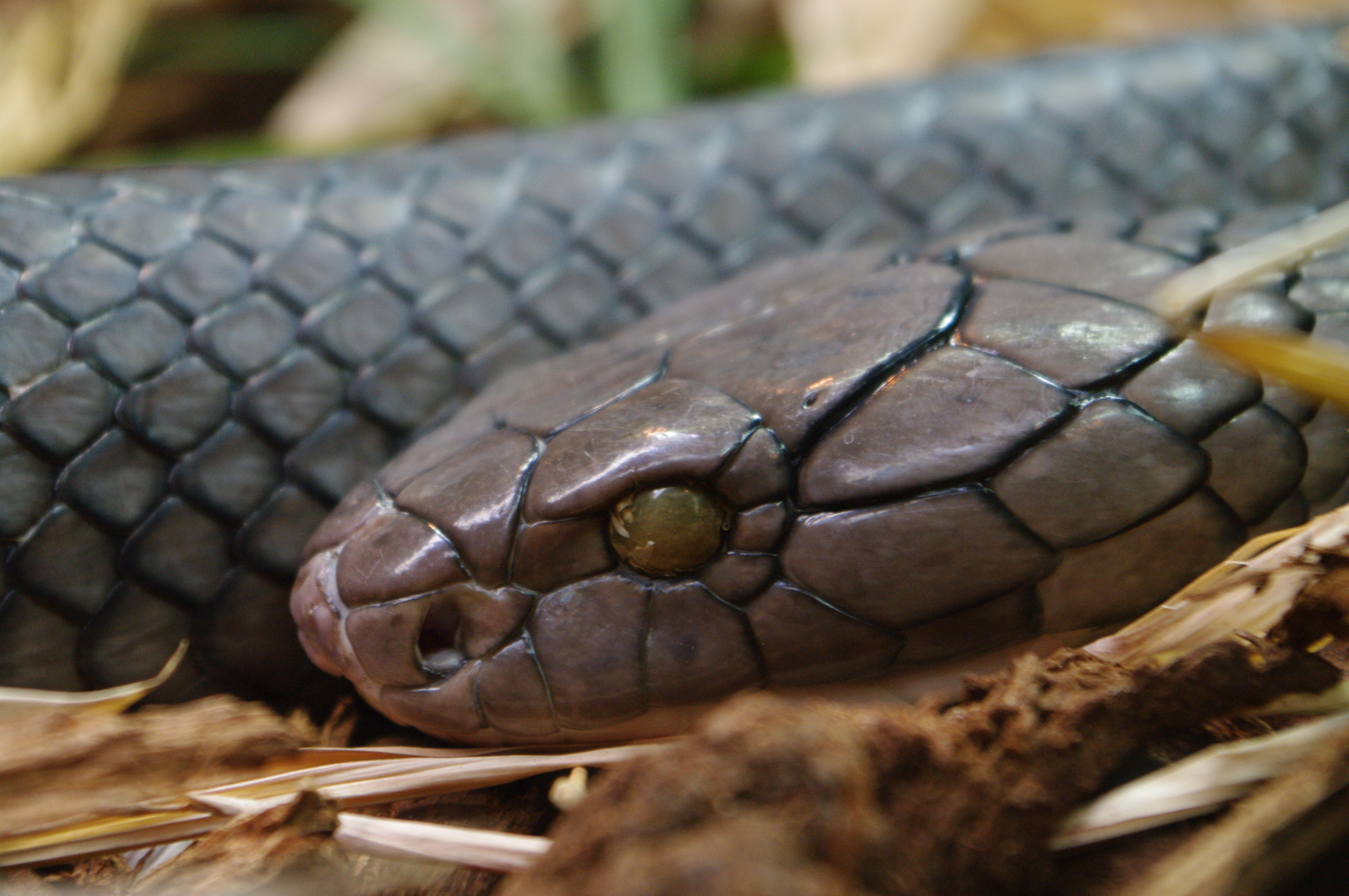 King Cobra Facts