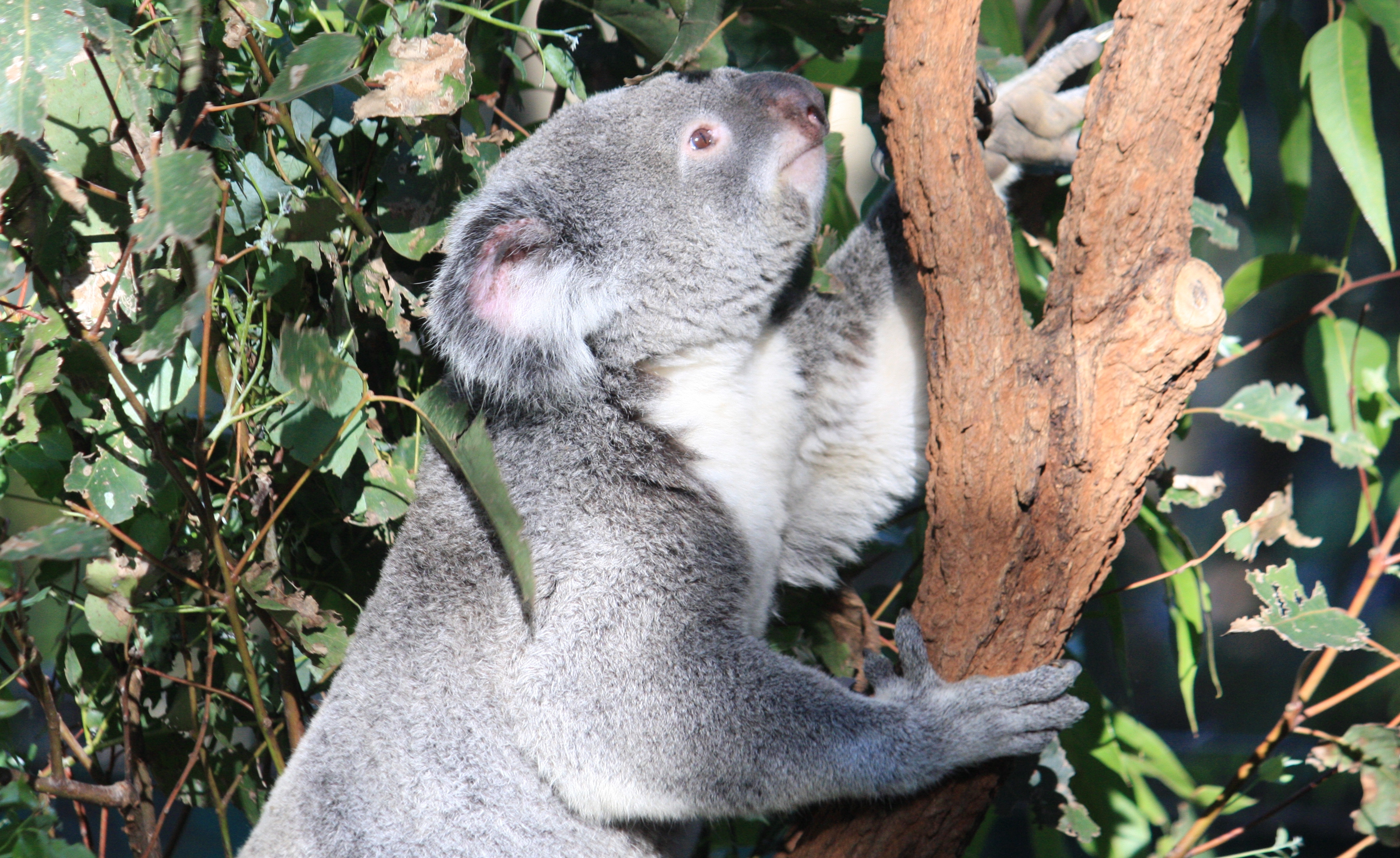 Brisbane's lone pine koala sanctuary