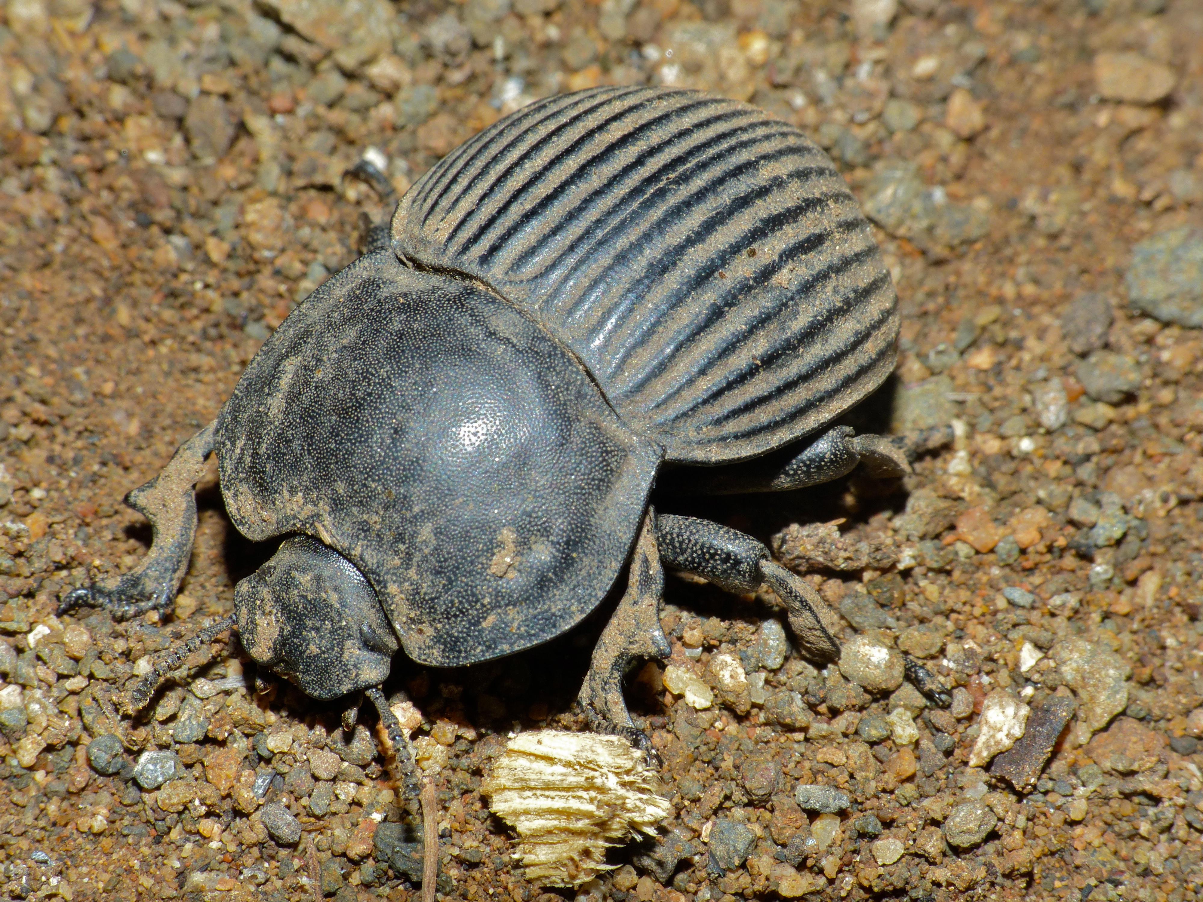 Filelarge armoured darkling beetle anomalipus elephas filelarge armoured darkling beetle anomalipus elephas 11688674945g sciox Images