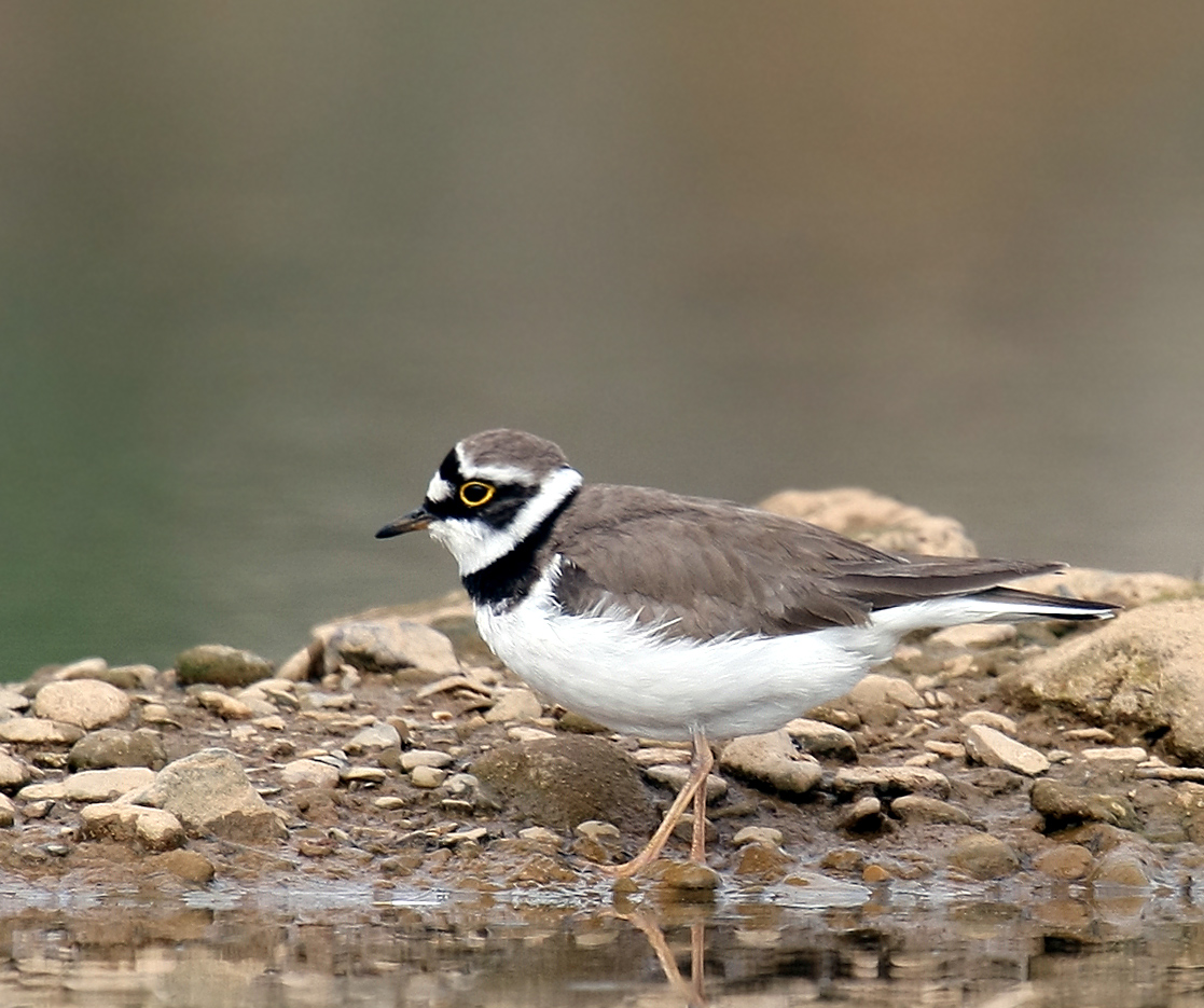 plover online dating What is a plover august 23, 2006 the impressive diversity of this family coupled with the fact that many are migratory ensure that a plover might turn up just.