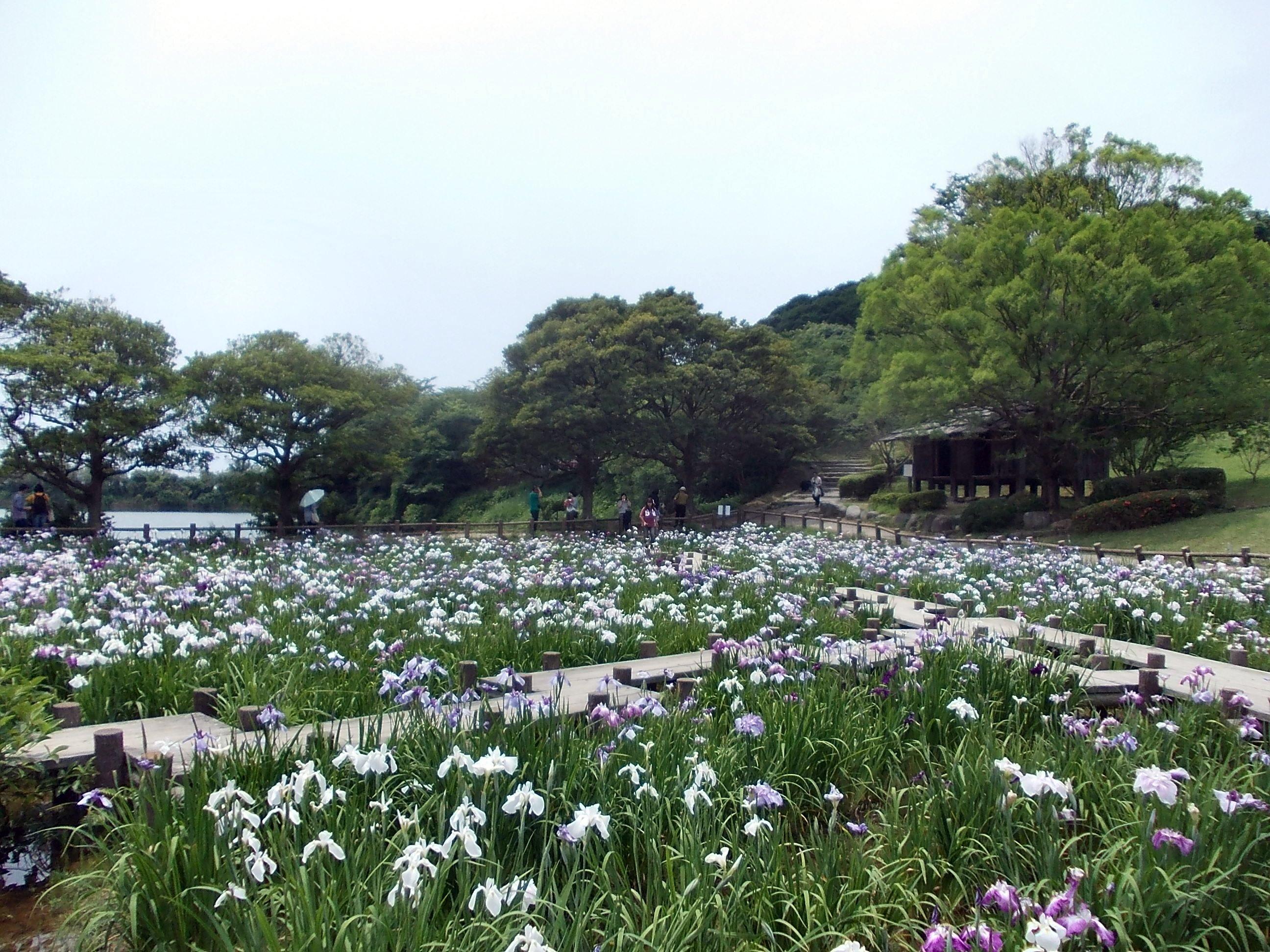 Miyajidake jinja iris festival 06