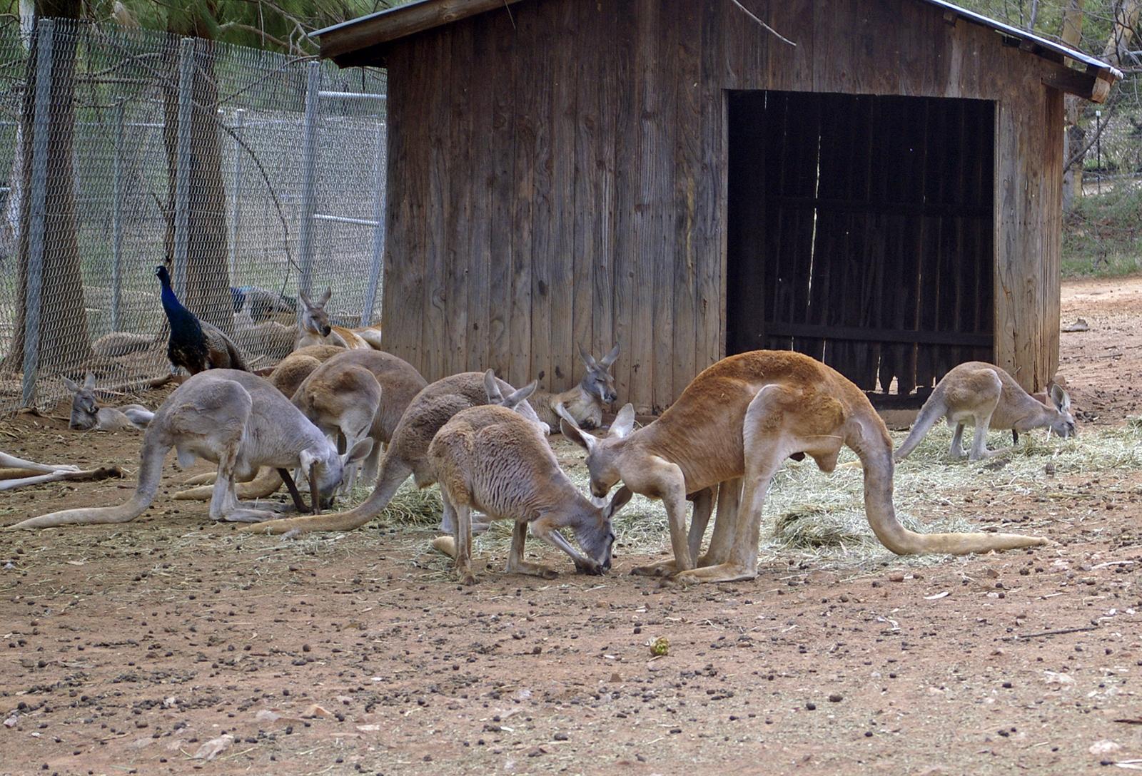 File:Mob of Red Kangaroos (Macropus rufus) 01.jpg