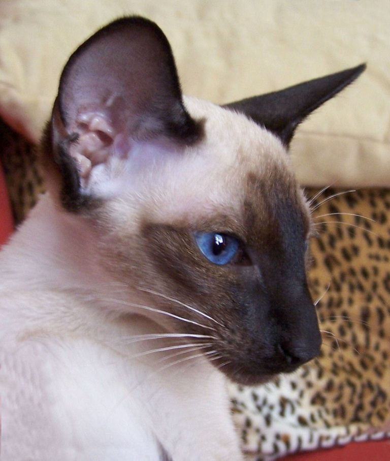 Siamese Cats For Sale In Maine