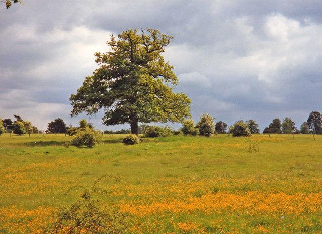 Oak tree in Whitewebbs Park, Enfield - geograph.org.uk - 889388