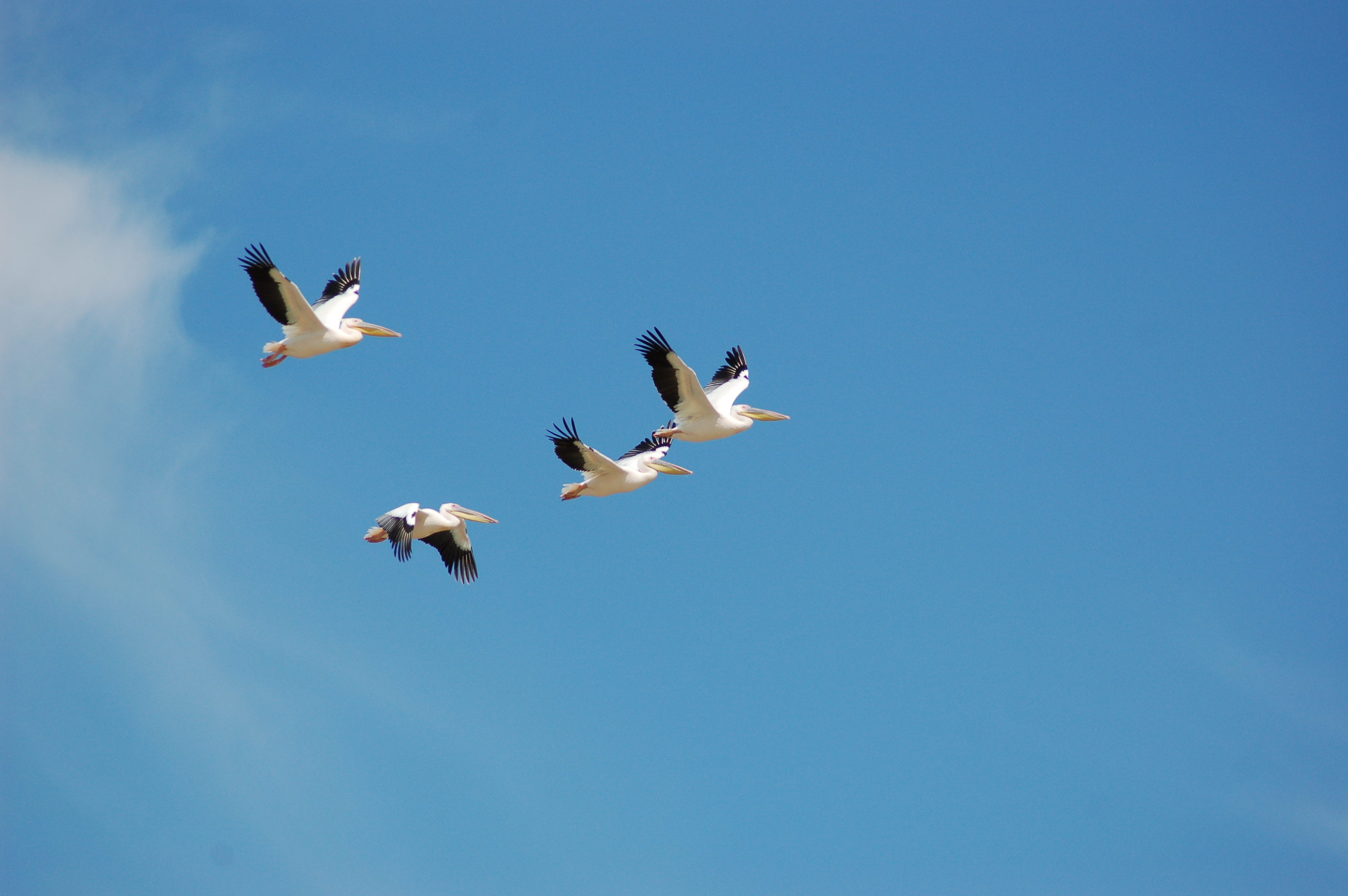 File Pelecanus Onocrotalus Nata Bird Sanctuary Botswana Four Flying