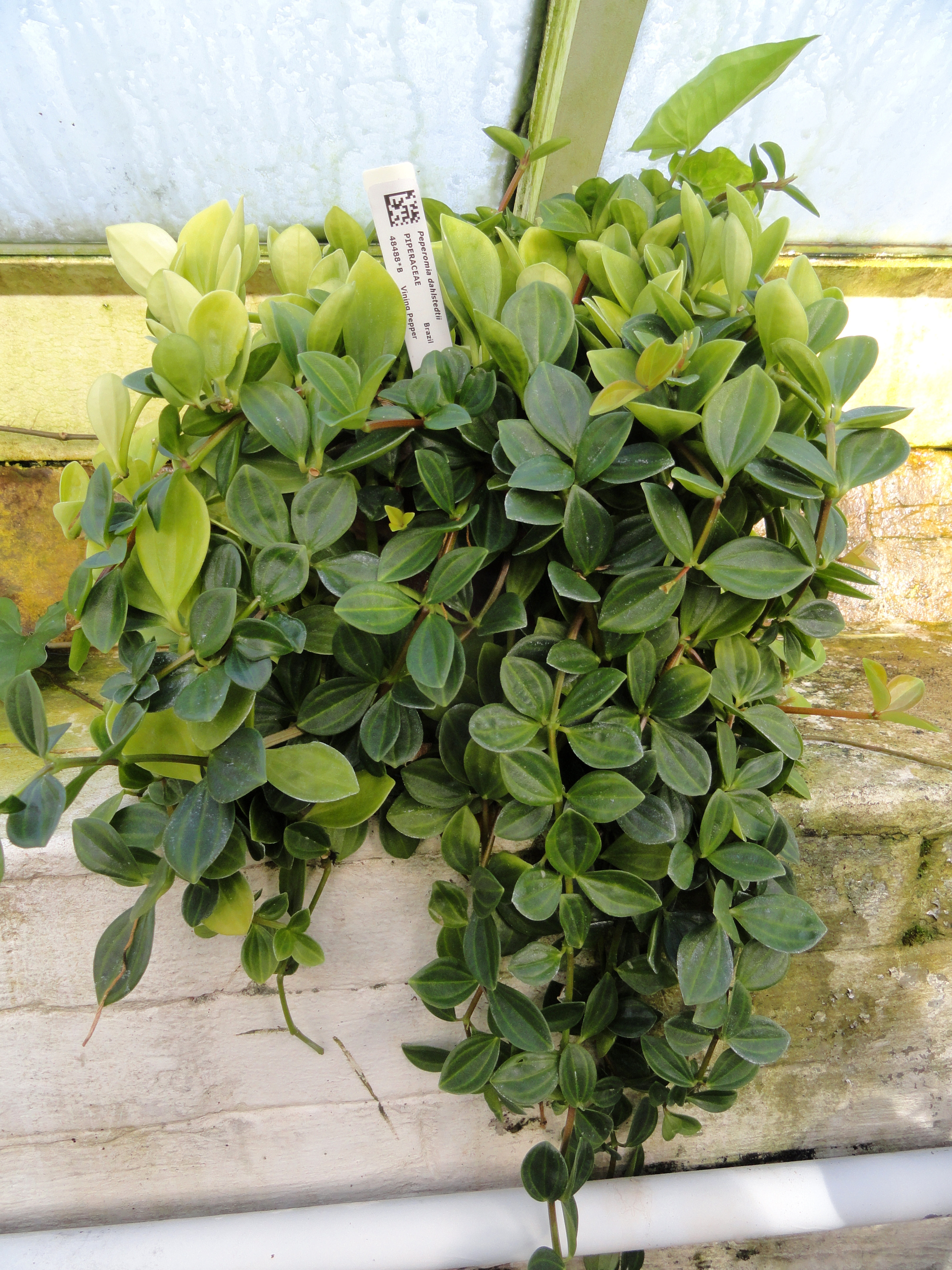 File Peperomia Dahlstedtii Lyman Plant House Smith