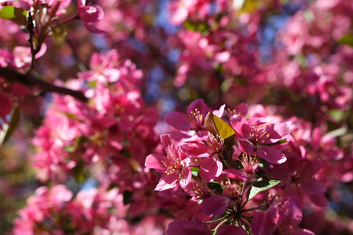 Filepink Flowers Tree West Virginia Forestwanderg