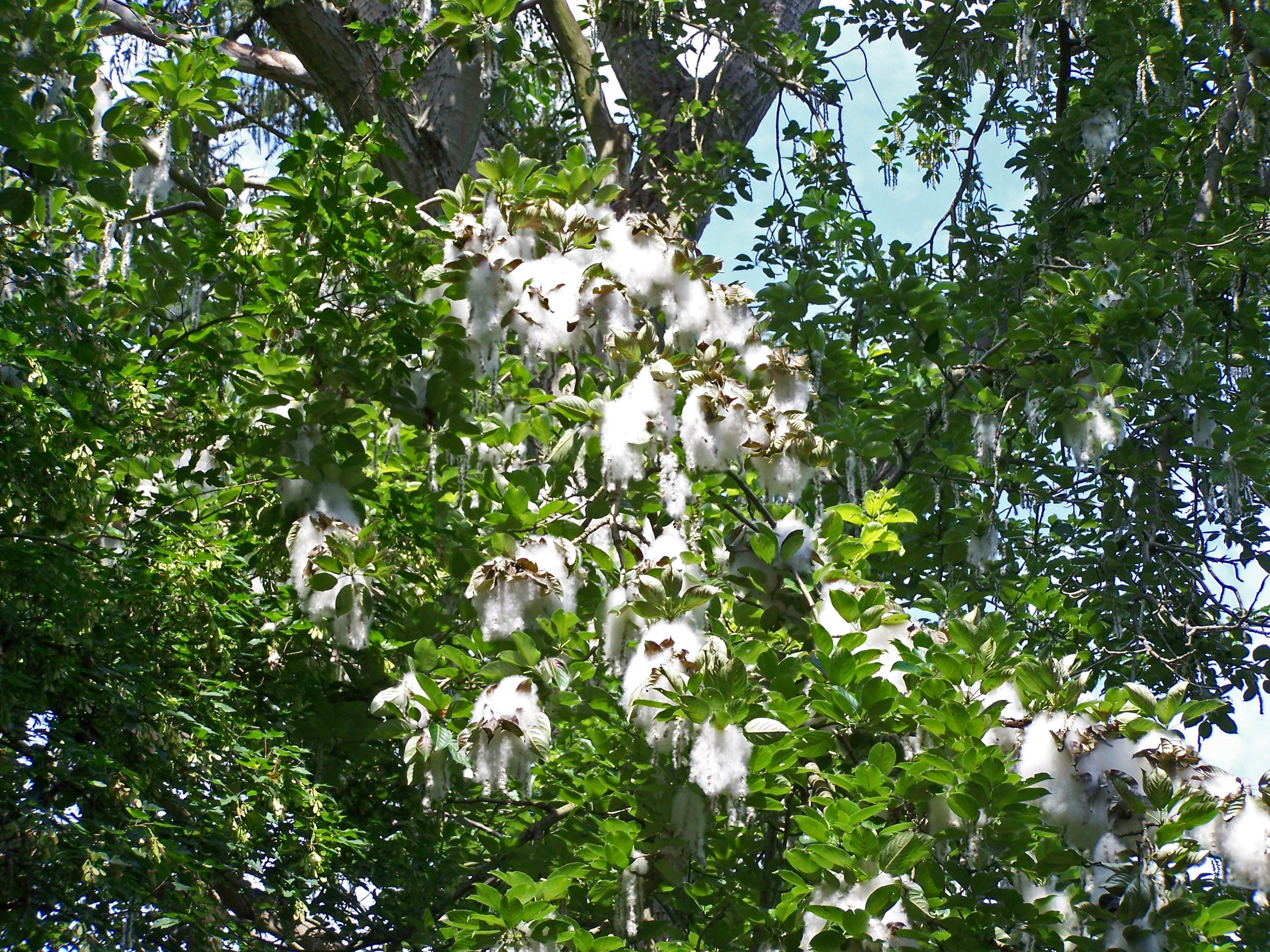 Sektion Tacamahaca: Populus maximowiczii mit typischer Samenflockung