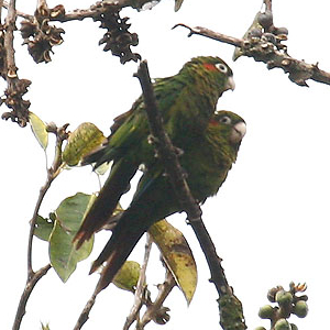 Pyrrhura hoffmanni -Costa Rica-4-4c
