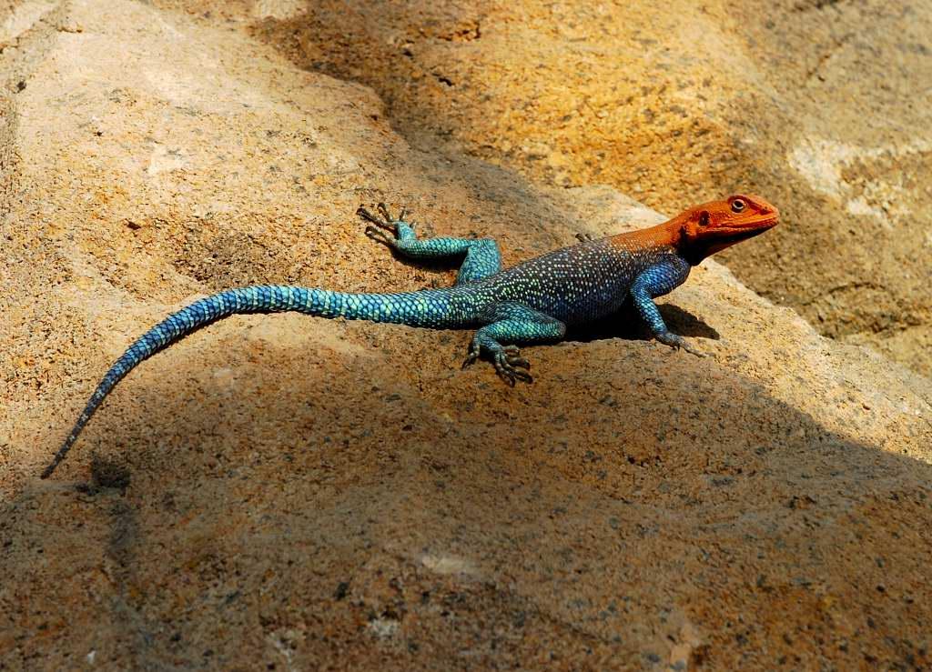Rainbow Lizard (Agama agama)