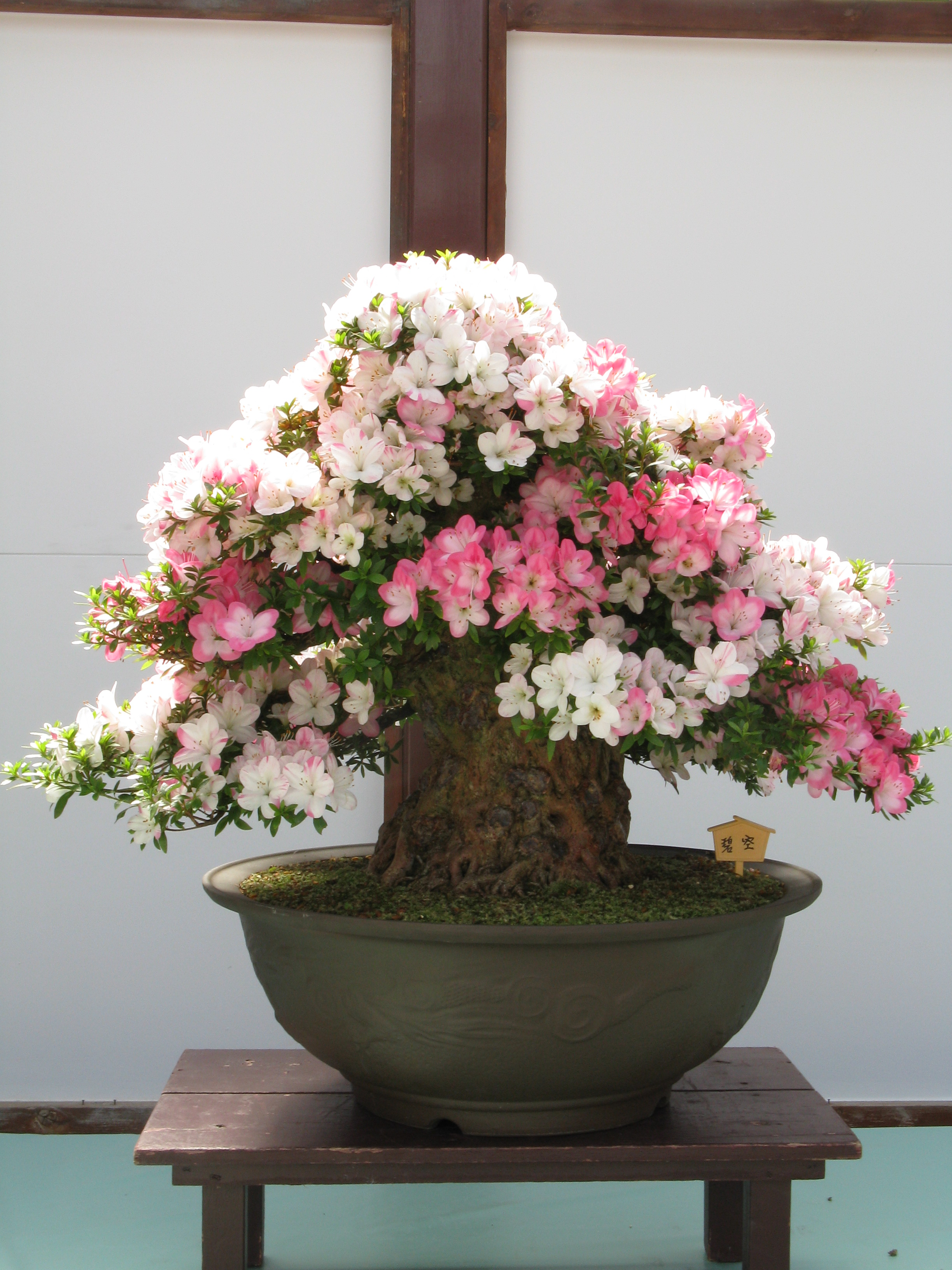 File rhododendron indicum wikimedia commons - Plantas para bonsai ...