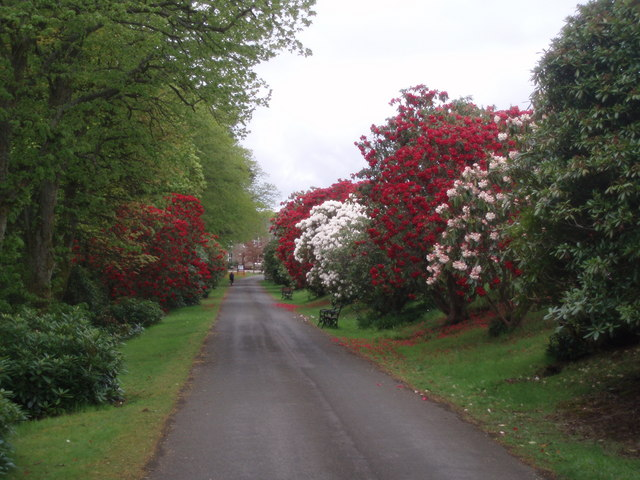 Rhododendrons, Crombie Country park - geograph.org.uk - 433174
