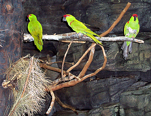 File:Rhynchopsitta pachyrhyncha -three on branch-3.jpg