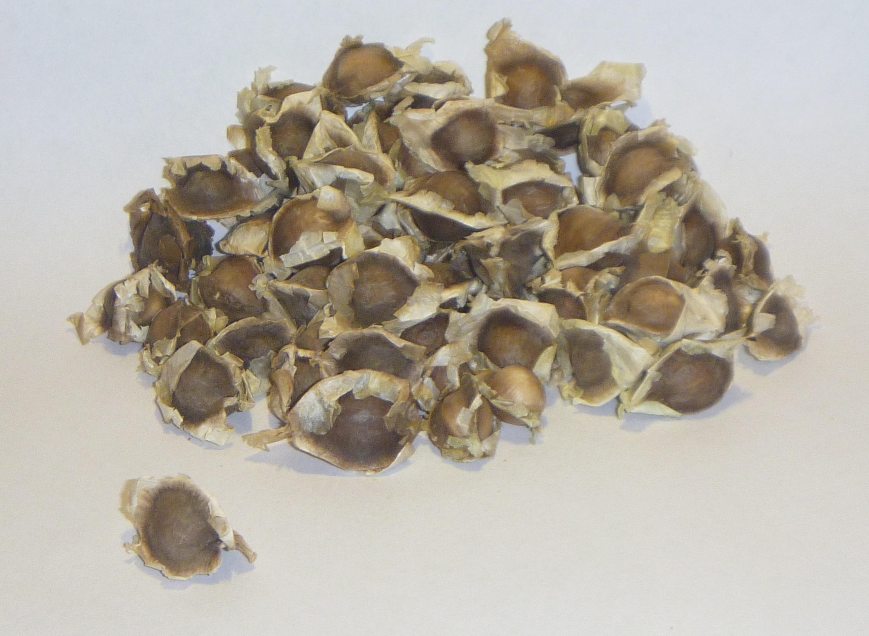 File:Semillas de Moringa oleifera.jpg