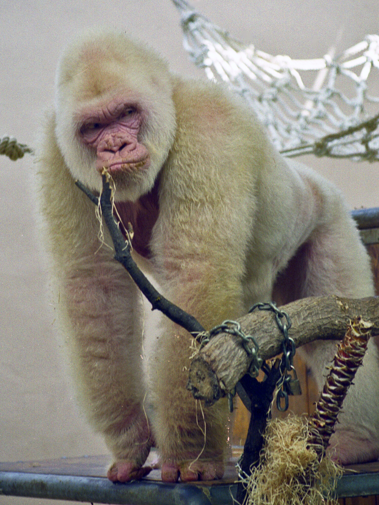 Albino Gorilla