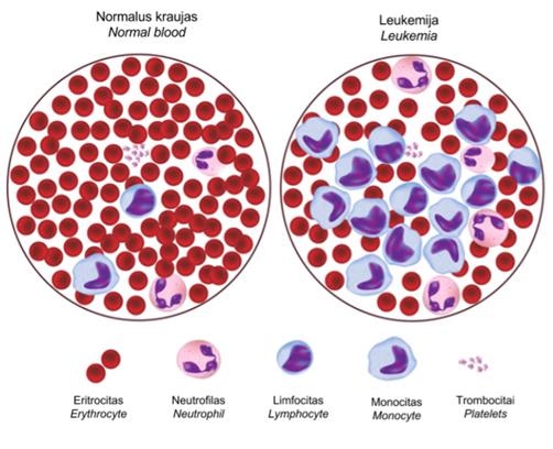 Kraujo kuneliai ir ju funkcijos