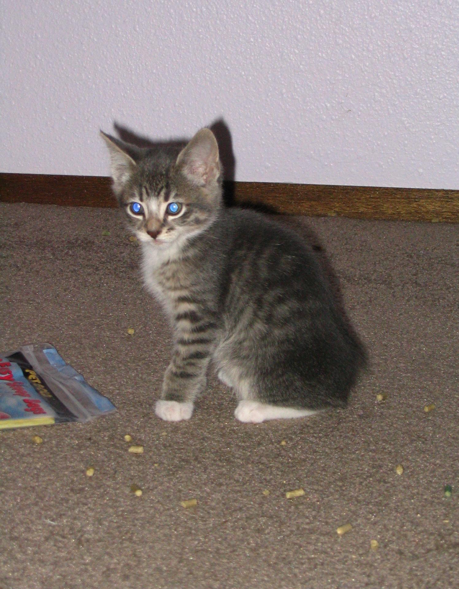 Grey Blue Tabby Cat