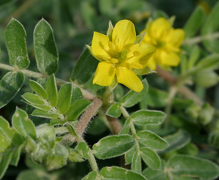 File:Tribulus terrestris (Puncture Vine or Gokharu) in