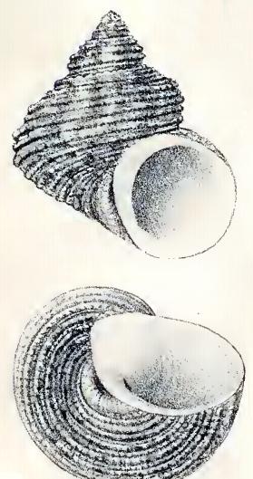 Turbo heterocheilus 001.jpg
