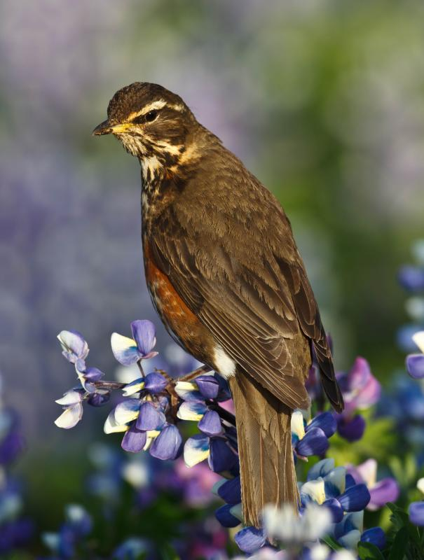 https://upload.wikimedia.org/wikipedia/commons/4/4d/Turdus_iliacus_-Iceland-8_(1).jpg