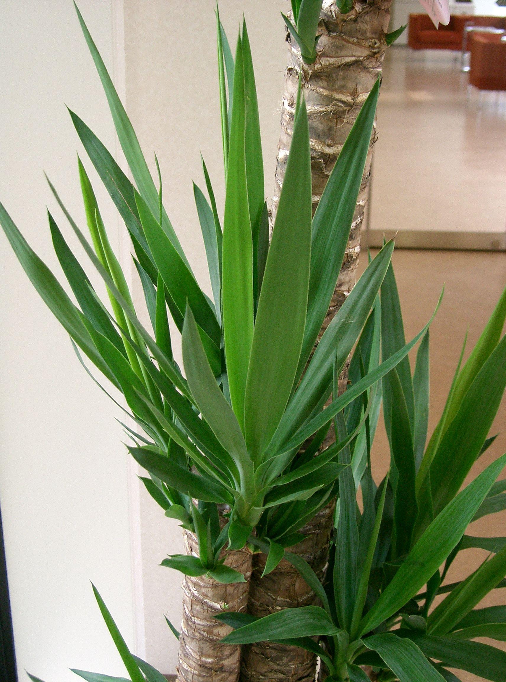 yucca plante