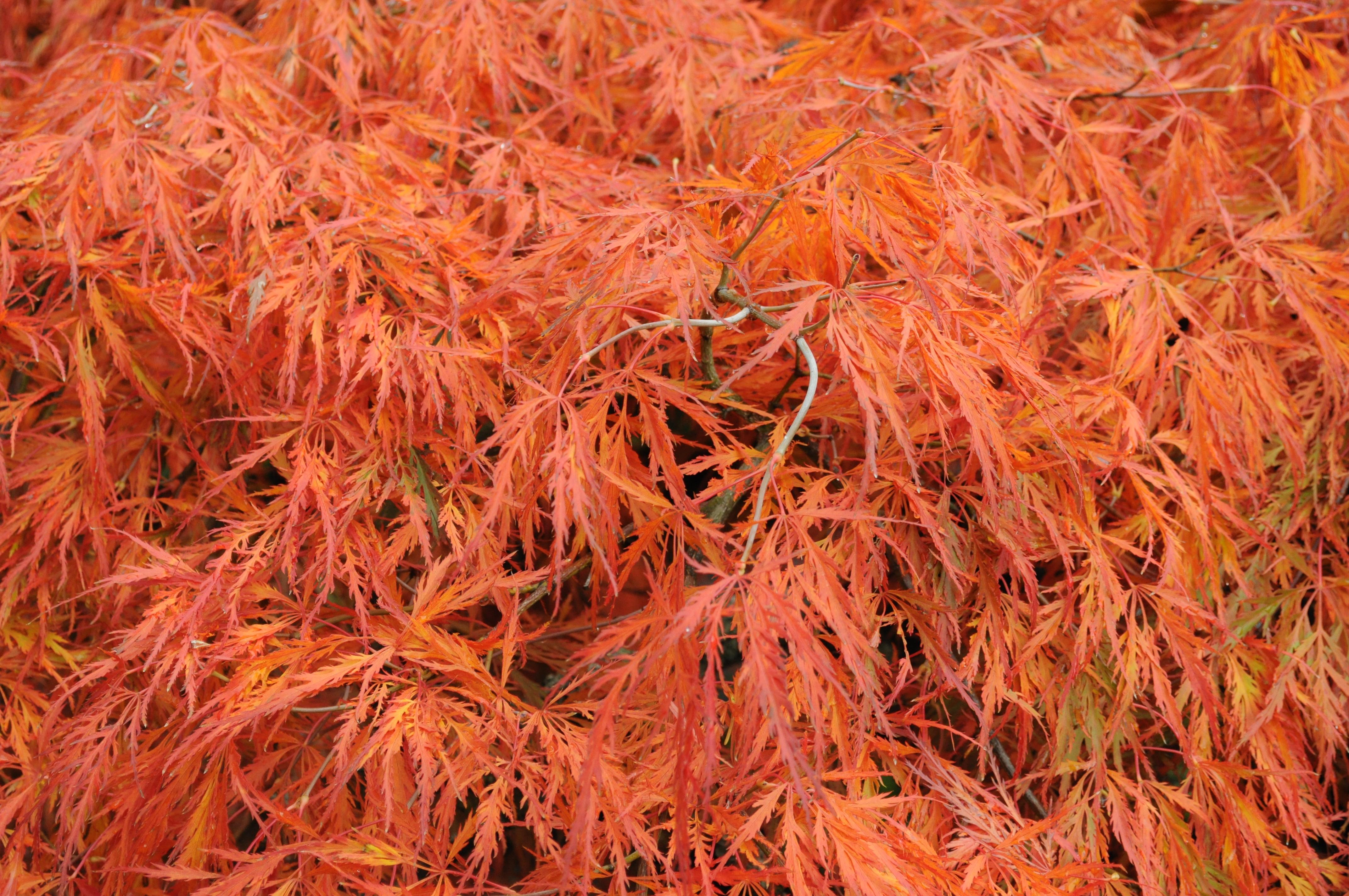 Fileacer Palmatum Fall Foliage 01jpg Wikimedia Commons