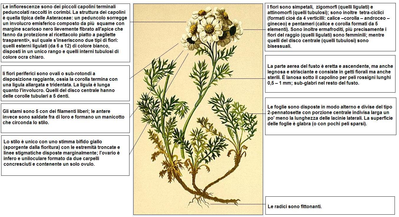 Fiori Gialli Rotondi.File Achillea Atrata Hartinger Desc Jpg Wikimedia Commons