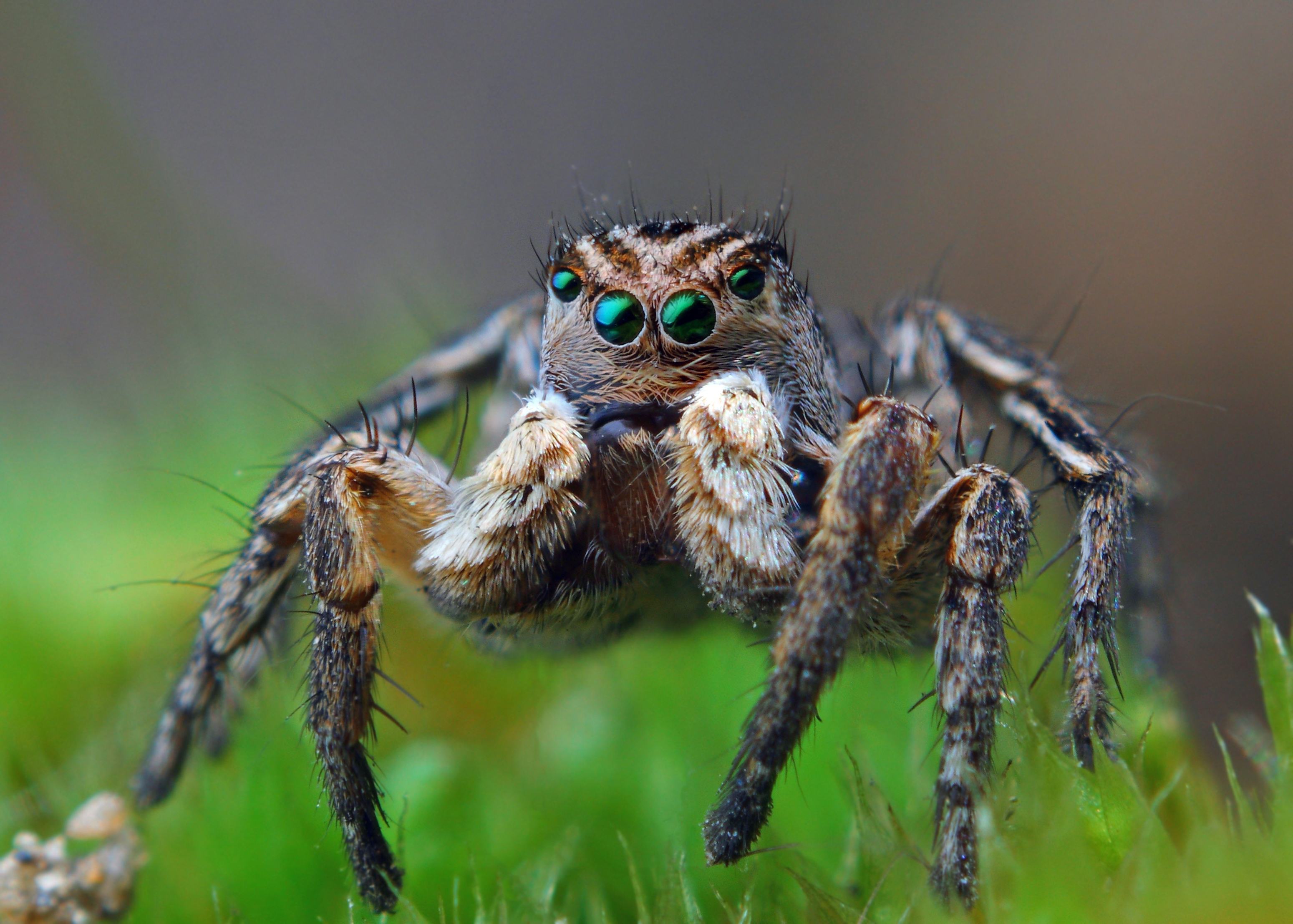 Image result for portia labiata jumping spider