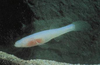 Ozark cavefish - Wikipedia