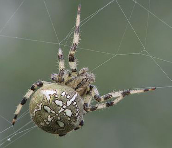 Fișier:Araneus quadratus1.jpg