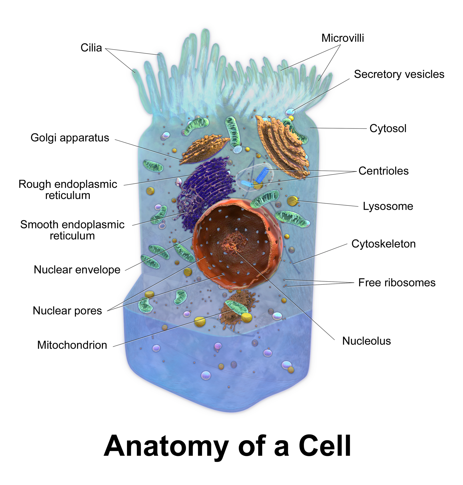 Animal cell model diagram project parts structure labeled coloring animal cell model diagram project parts structure labeled coloring and plant cell organelles cake parts of an animal cell animal cell model diagram project publicscrutiny Image collections