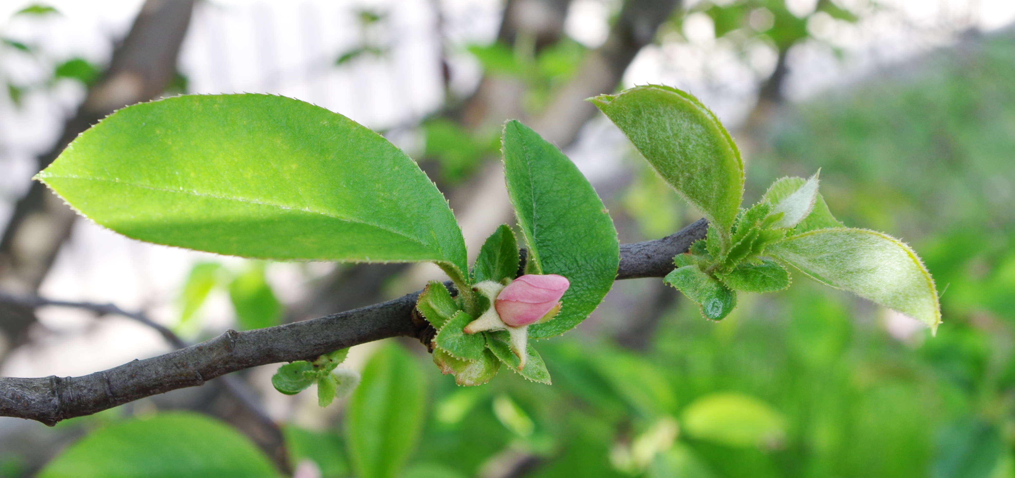 File:Bouton de fleur de cerisier.jpg - Wikimedia Commons