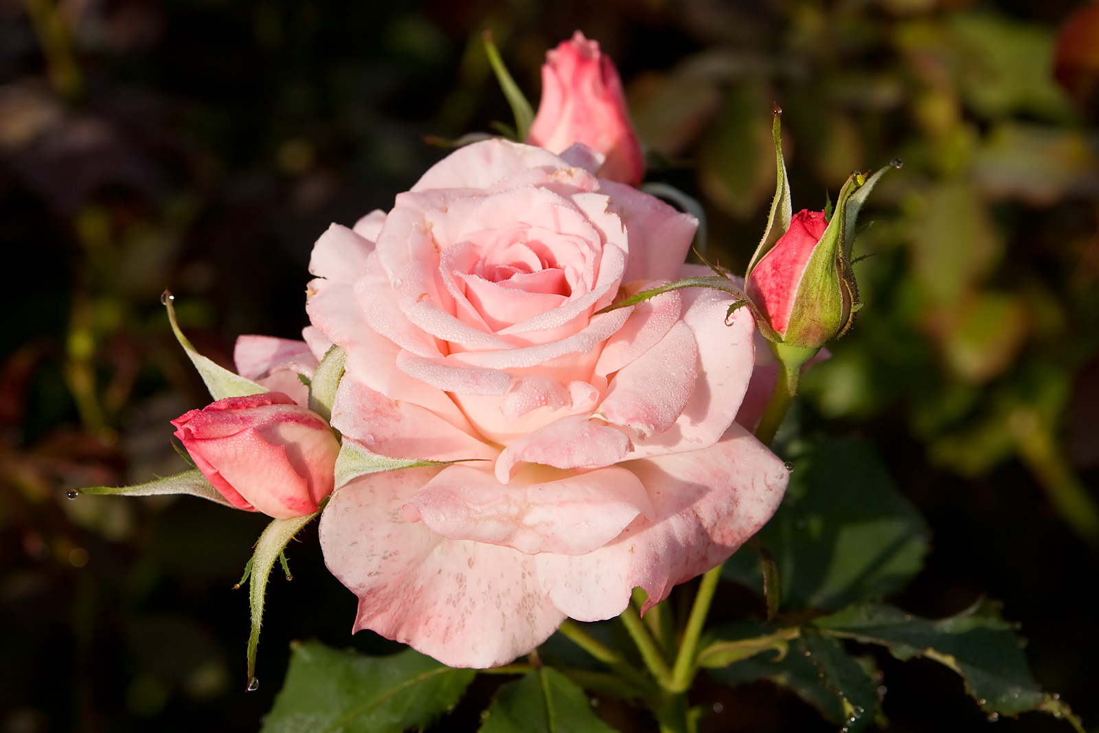 File Bridal Pink Morwell Rose Wikimedia Commons
