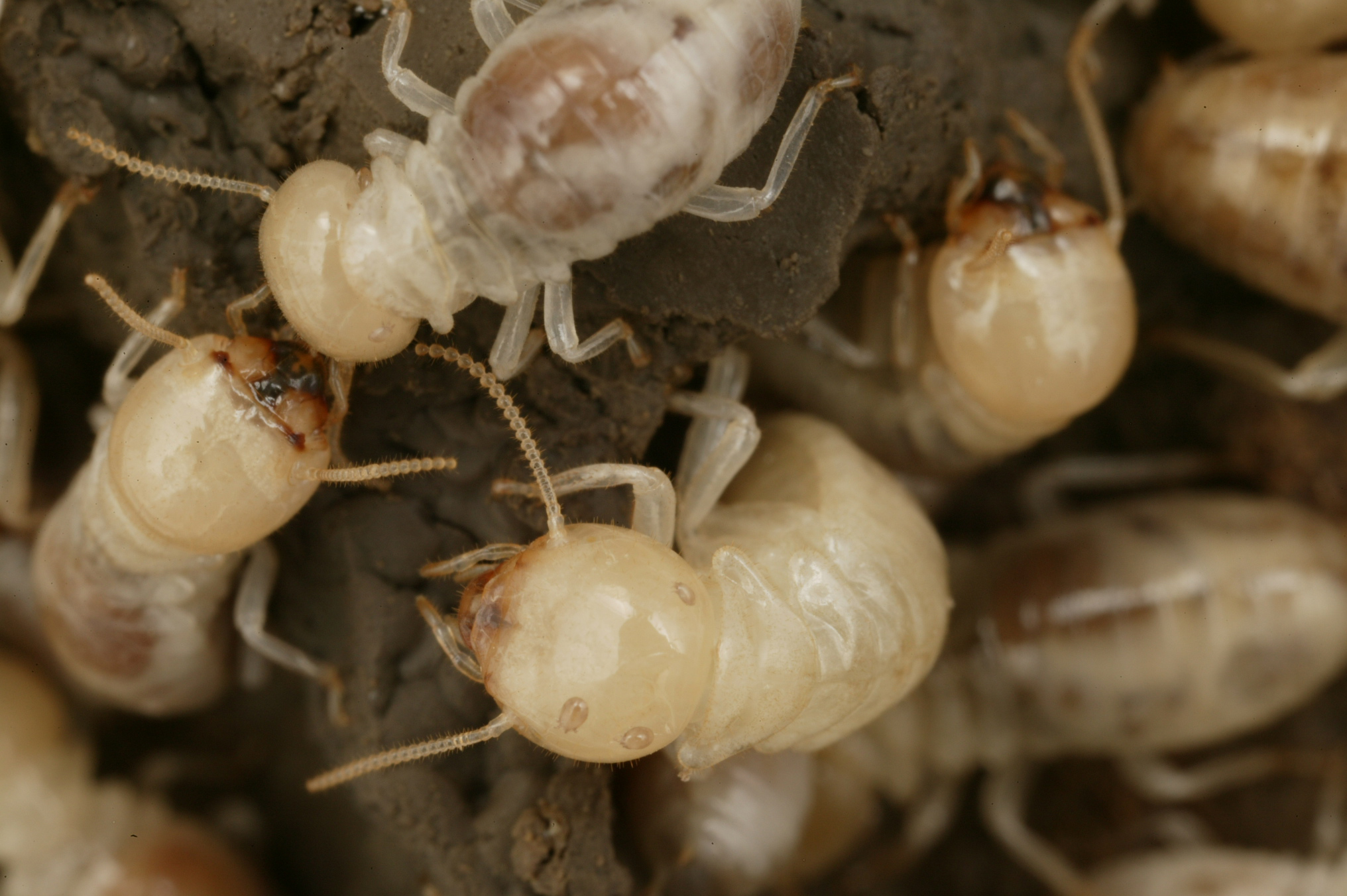 CSIRO ScienceImage 3976 Mastotermes darwiniensis Giant Northern Termite.jpg