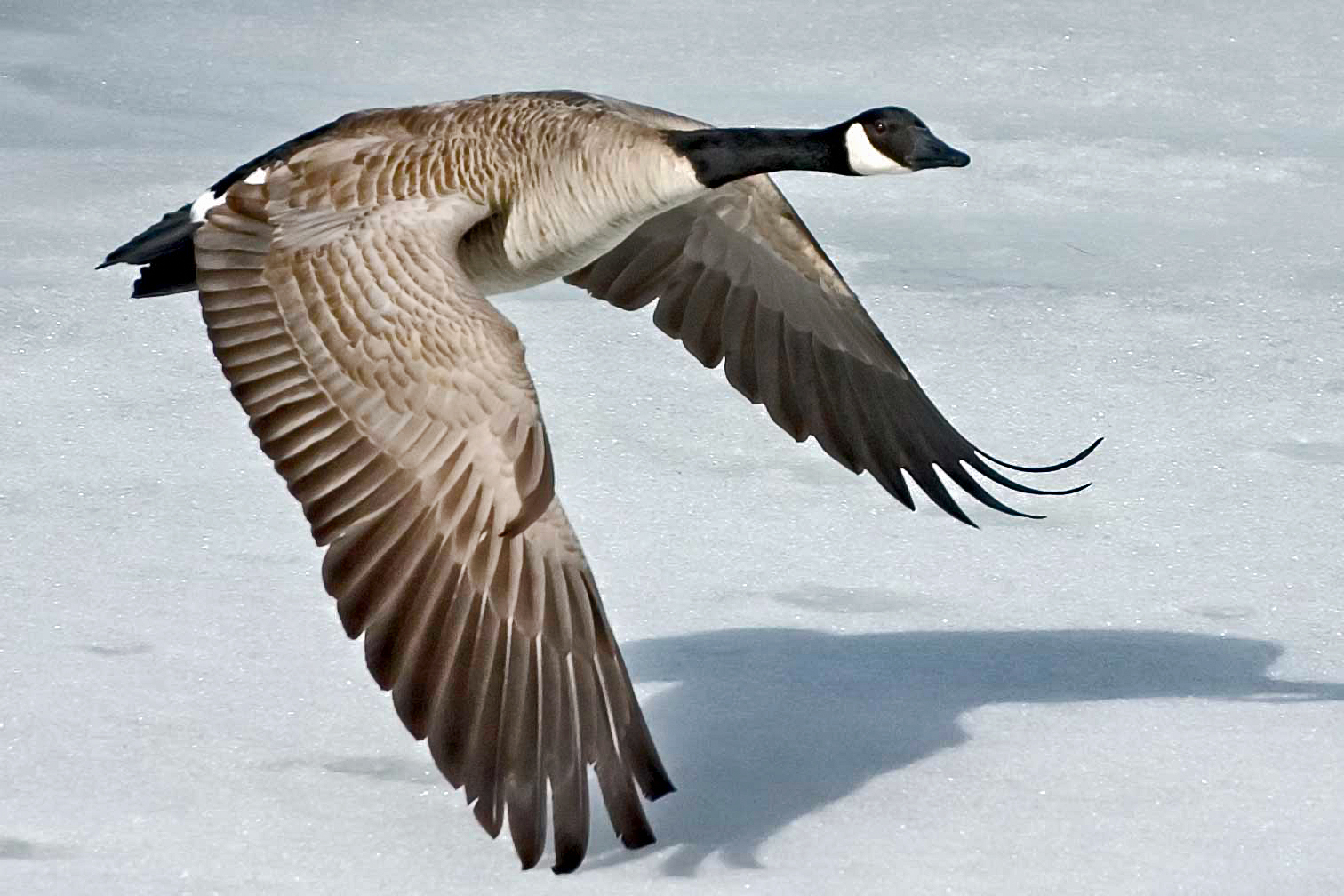 The RSPB Canada goose