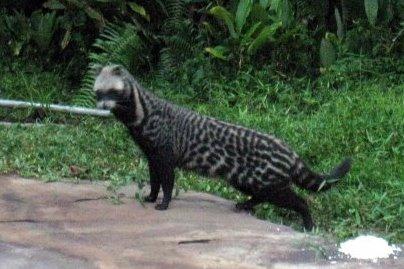 খট্টাস বা গন্ধগোকুল (civet cats)