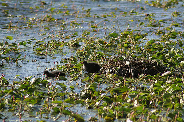 Coots' nest with young - geograph.org.uk - 856972