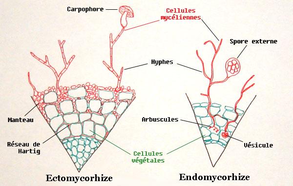 Resultado de imagen de mushroom mycelium diagram  truffle