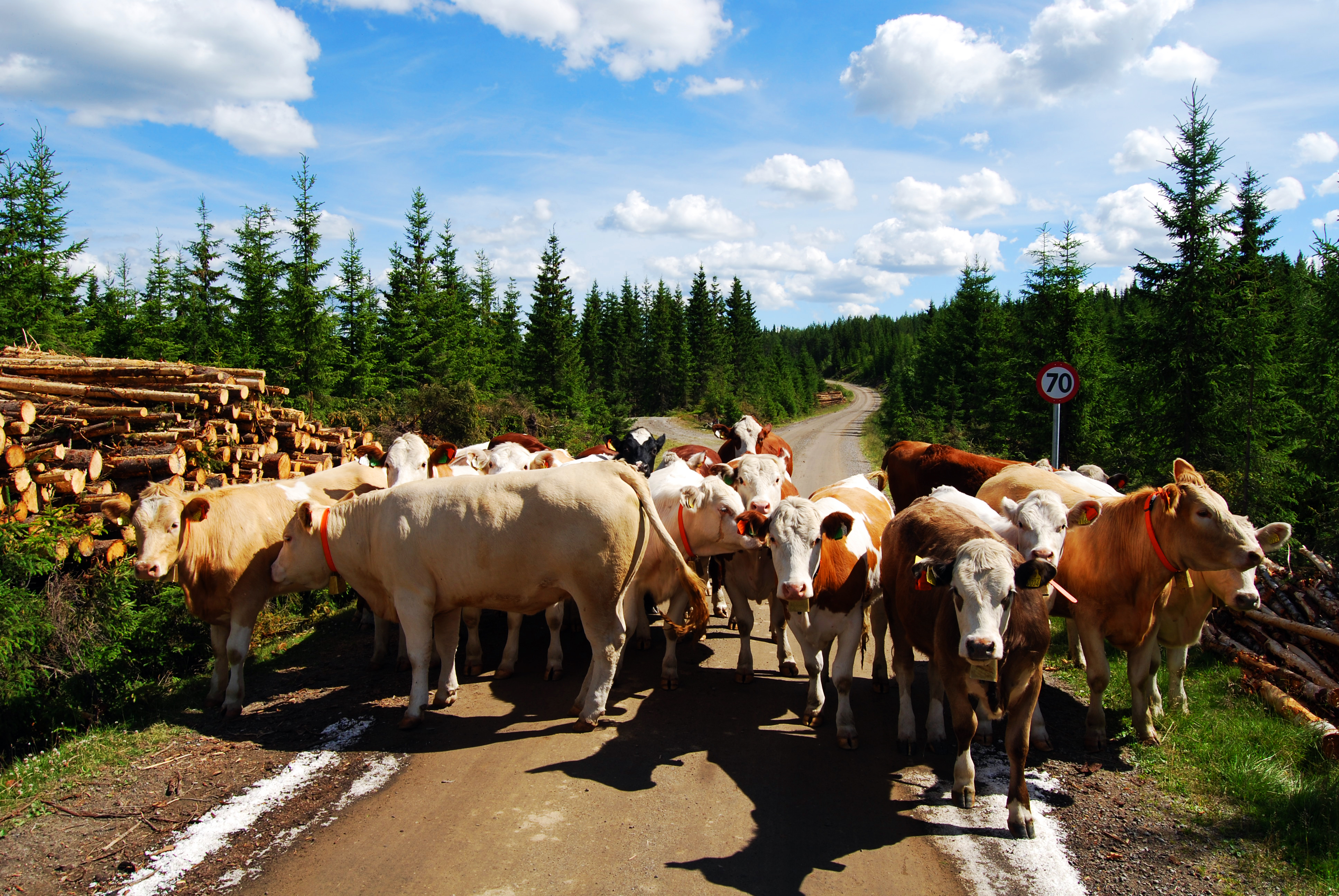 Cows on the road (By Torstein Frogner via Wikimedia CC-BY)