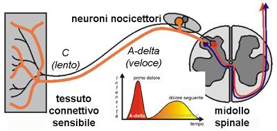 Tipi di nocicettori