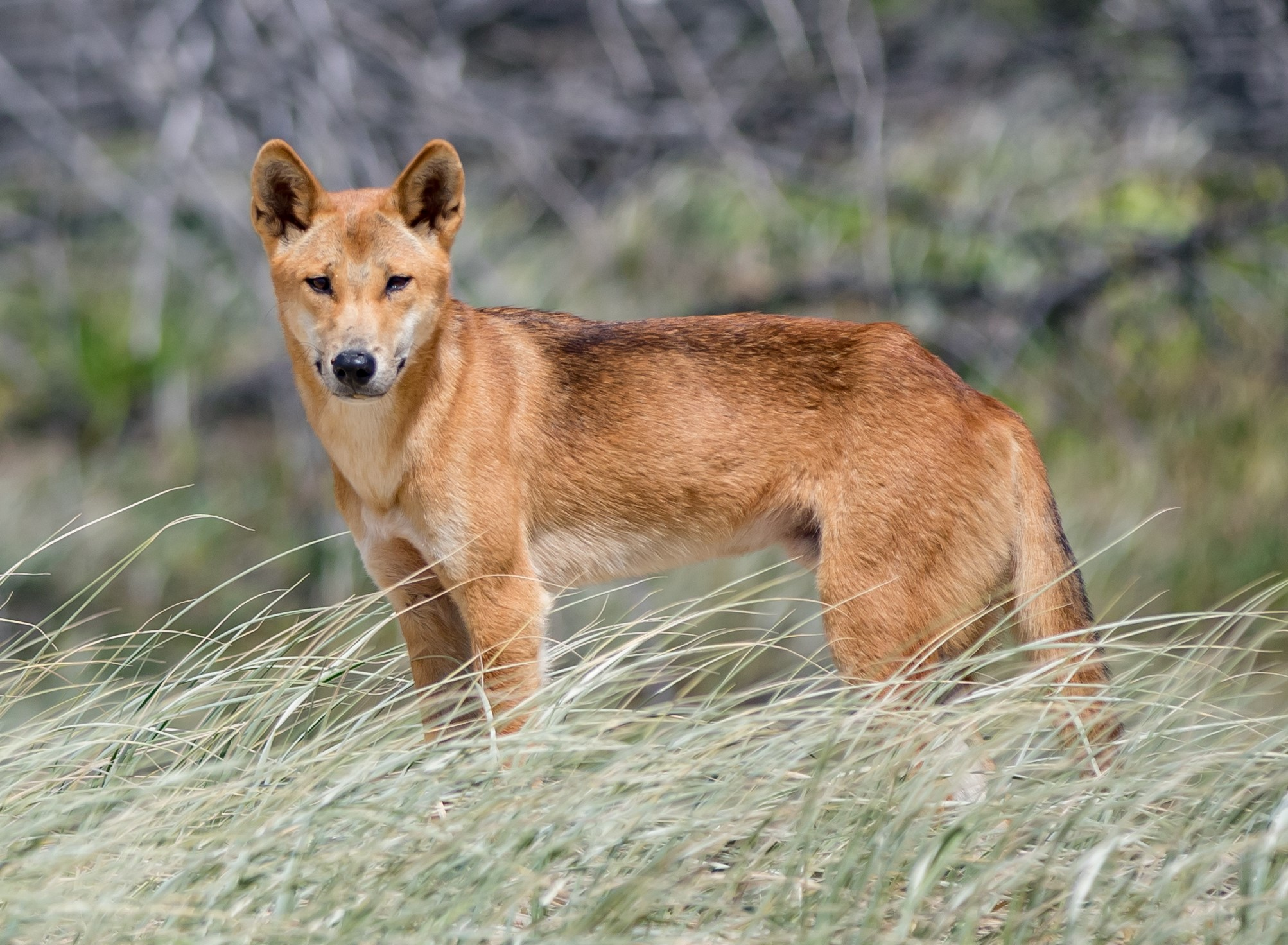 dingo safety on fraser island