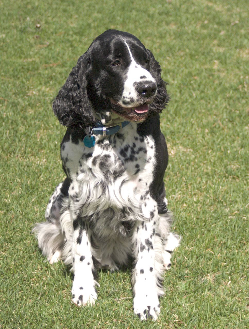 File:English Springer Spaniel black sitting.jpg ...