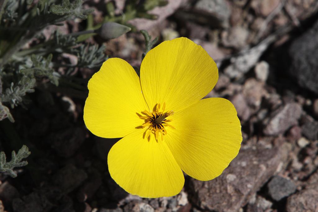 Файл:Eschscholzia glyptosperma in Death Valley.jpg