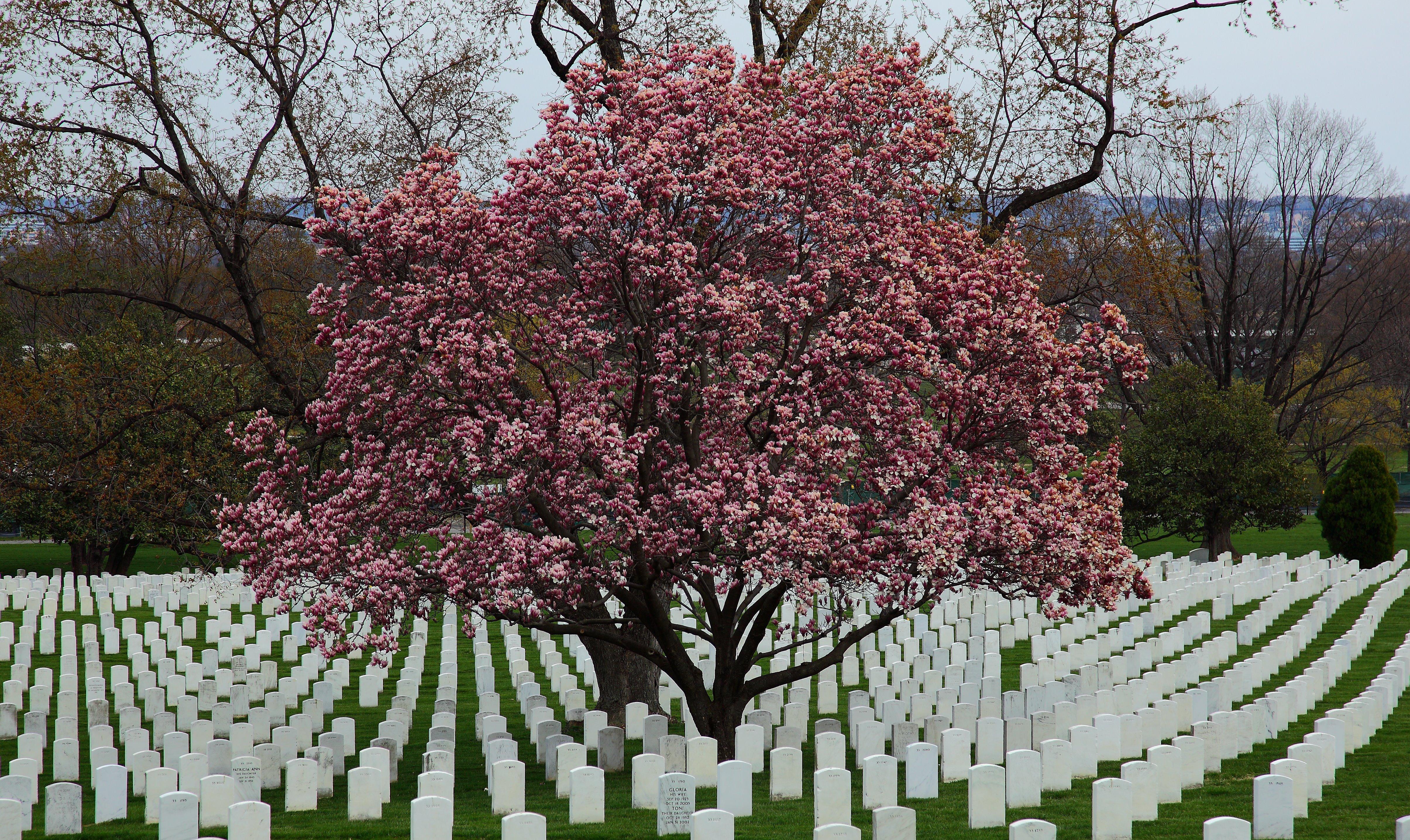 Fileflowering Magnolia Tree Arlington Cemetery West Virginia