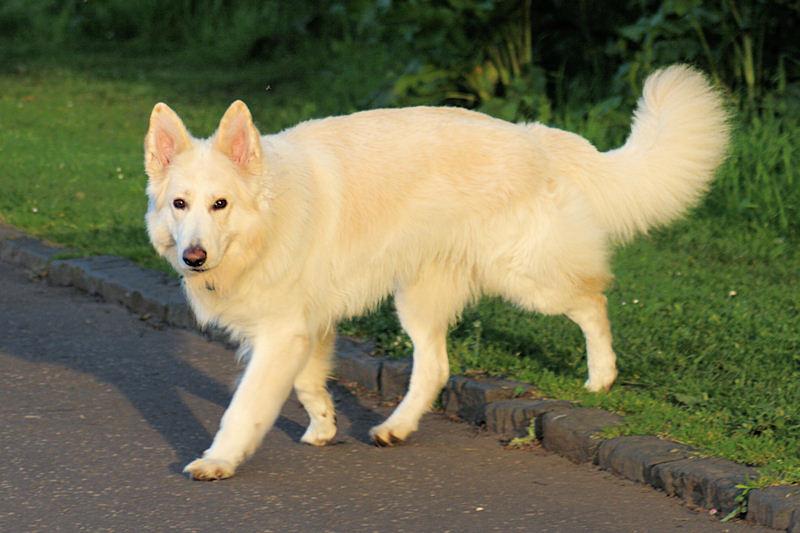 Gentle and friendly German Shepherd Dogs
