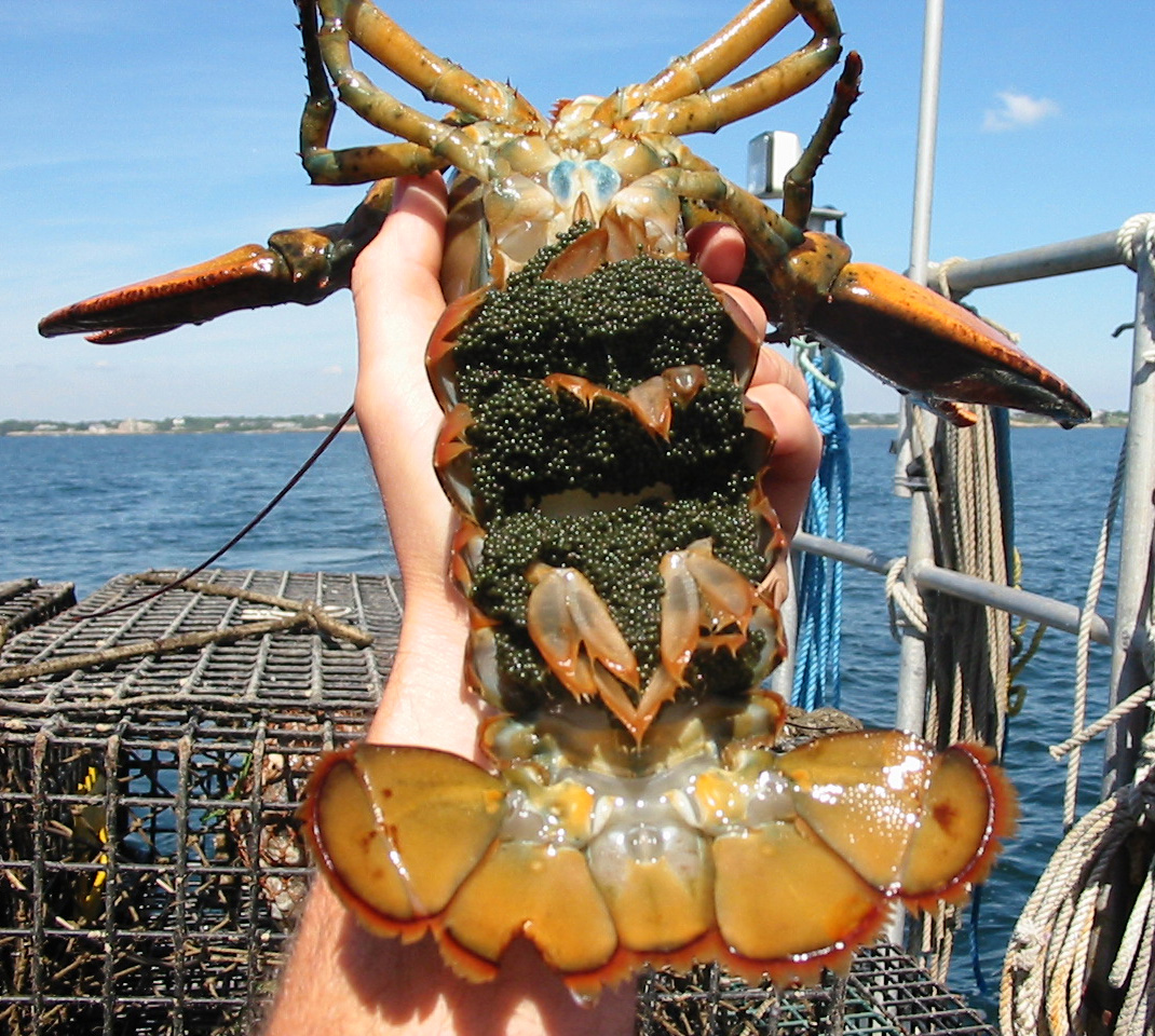 Did human activity cause lobster shell disease? | do the molecule dance