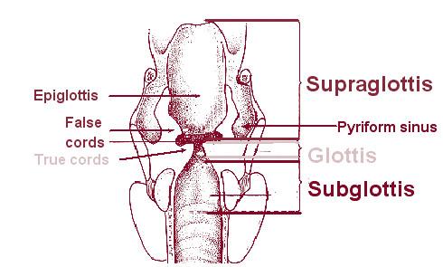 Piriform sinus